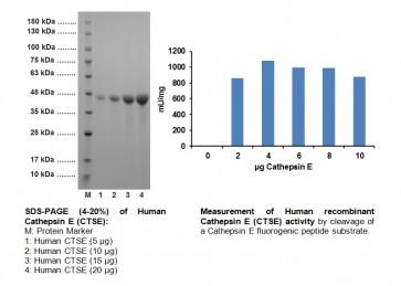 Procathepsin E/ Cathepsin E, human recombinant