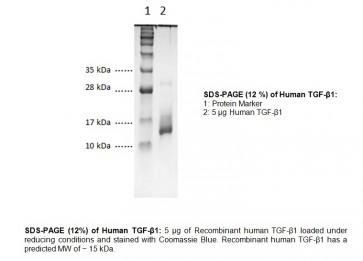 TGF-β1, human recombinant (E. Coli)