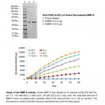 MMP-9, Active, human recombinant