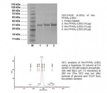 PPARγ (LBD) Human Recombinant (His-tagged)