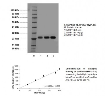 MMP-14, Active, Human Recombinant