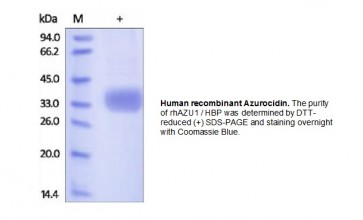 Human CellExp™ Azurocidin, human recombinant