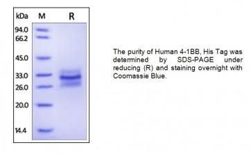 Human CellExp™ 4-1BB / TNFRSF9, Human recombinant