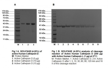 Active Cathepsin D, Human Recombinant