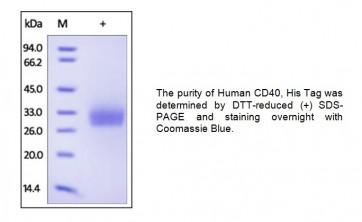 Human CellExp™ Human CD40/ TNFRSF5, Human recombinant