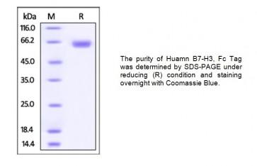 Human CellExp™ B7-H3 / CD276, Fc Tag, Human recombinant