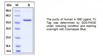 Human CellExp™ 4-1BB Ligand/TNFSF9, Human recombinant