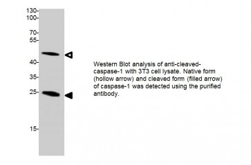 Anti-Cleaved-Caspase-1 Antibody