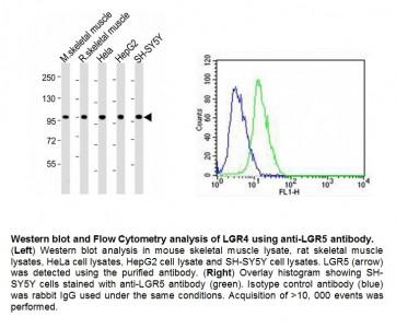 Anti-LGR5 Antibody
