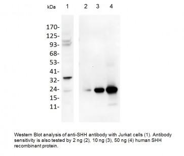 Anti-SHH Antibody
