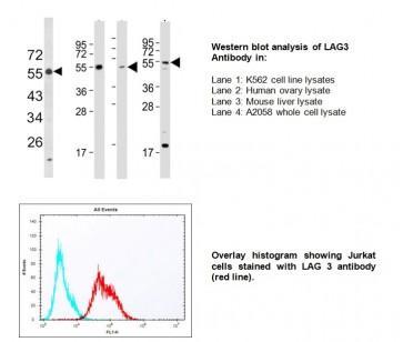 Anti-CD223 (LAG3) Antibody