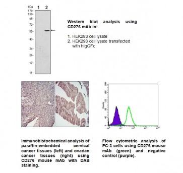 Anti-CD276 Antibody (6A1)