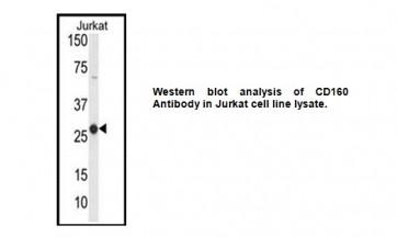 Anti-CD160 Antibody