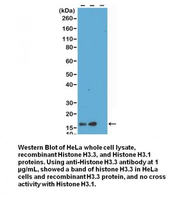 Anti- Histone H3.3 Rabbit Monoclonal Antibody