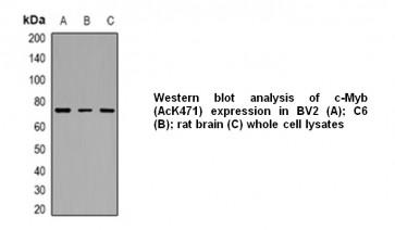 Anti- c-Myb Antibody