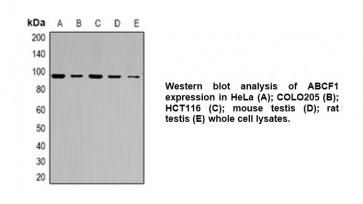 Anti-ABCF1 Antibody