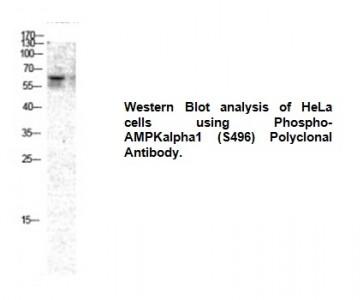 Phospho-AMPKα1 (Ser496) Antibody