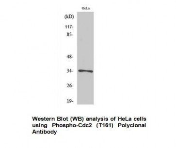 Phospho-Cdc2 (Thr161) Antibody