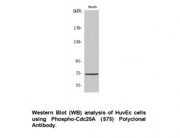 Phospho-Cdc25A (Ser75) Antibody