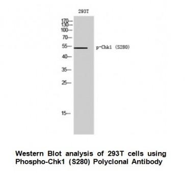 Phospho-Chk1 (Ser280) Antibody
