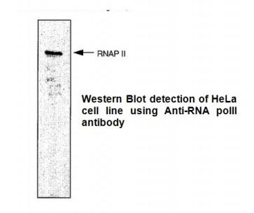 Anti-RNA polymerase II CTD repeat YSPTSPS Antibody (CTD 4H8)