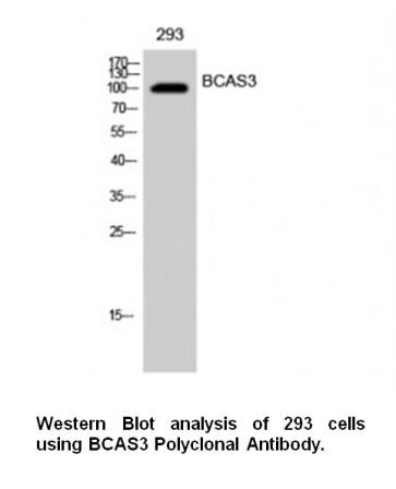 Anti-BCAS3 Antibody