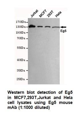 Anti-Eg5 Antibody (4H3-1F12)