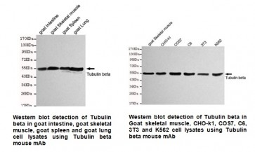 Anti-β-Tubulin Antibody (1E1-E8-H4)