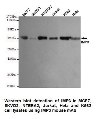 Anti-IMP3 Antibody (1F1-E10-D11)