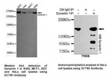 Anti-DCTN1 Antibody (3D5-C6-D5)