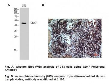 Anti-CD47 Antibody