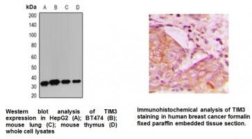 Anti-TIM3 Antibody