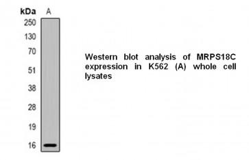 Anti-MRPS18C Antibody