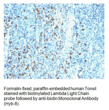 Anti-Biotin Antibody (Hyb-8)