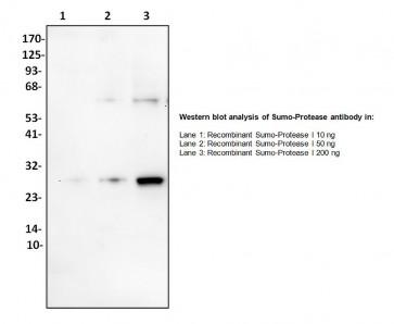 Anti-SUMO Protease I Antibody