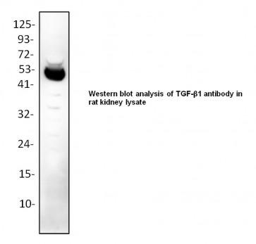 Anti-TGF-β1 Antibody