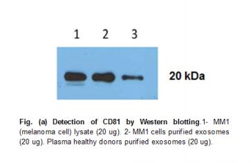 Anti-human CD81 Antibody