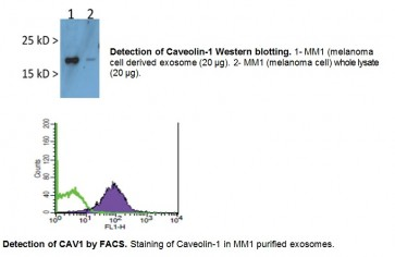 Anti-human Caveolin-1 antibody