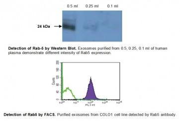 Anti-human Rab5 antibody