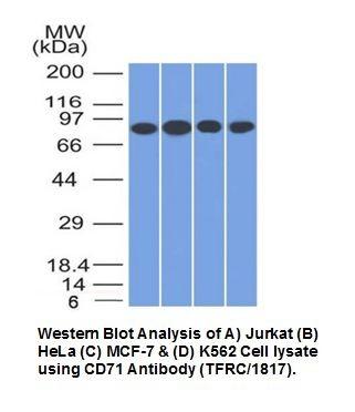 Anti-CD71 / Transferrin Receptor Antibody (TFRC/1817)