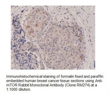Anti-mTOR Rabbit Monoclonal Antibody
