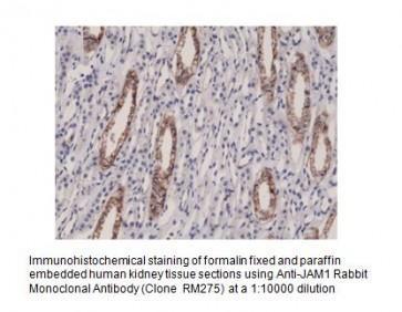 Anti-Junctional Adhesion Molecule 1 Rabbit Monoclonal Antibody