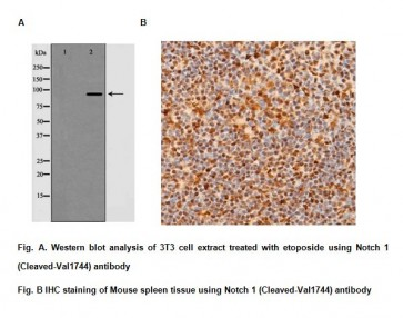 Anti-Notch 1 (Cleaved-Val1744) Antibody