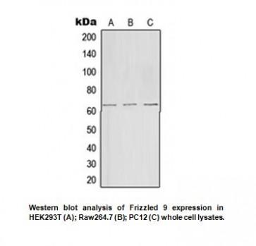 Anti-Frizzled 9 Antibody