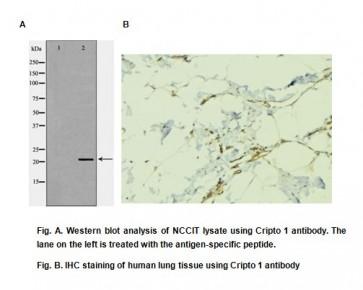 Anti-Cripto 1 Antibody