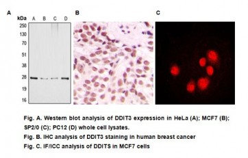 Anti-DDIT3 Antibody