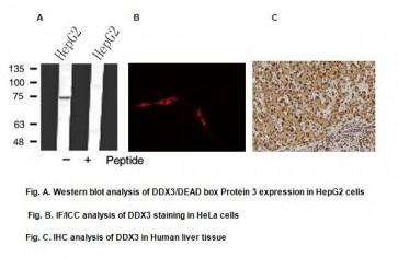 Anti-DDX3 Antibody