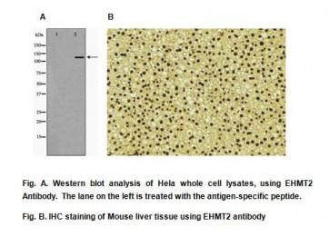 Anti-EHMT2 Antibody