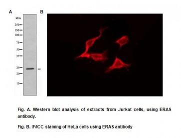 Anti-ERAS Antibody