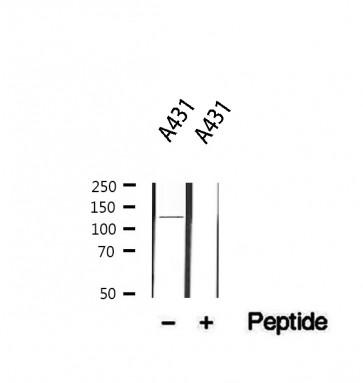 Anti-ITGA6 Antibody